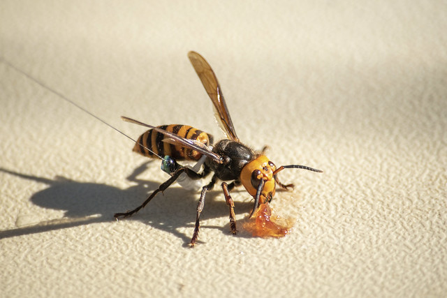 A USDA-supplied radio tag onto this captured Asian giant hornet