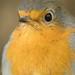Rotkehlchen (Erithacus rubecula) (5)