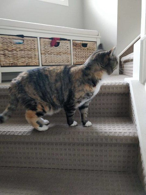UPDATE Cat is now at Fish Creek 24 Hour Pet Hospital 15311 Bannister Rd SE (403) 873-1700 Pls RT, share for owner awareness. If claiming MUST provide proof ofo ownership. https://bit.ly/3e8wpjF FOUND dsh calico orange/black/white cat in #evergreen. FOUND,