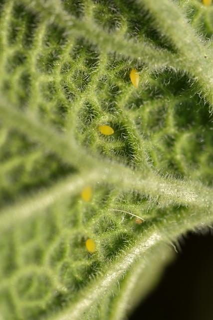 Huevos de Epilachna elaterii en su planta nutricia, Ecballium elaterium