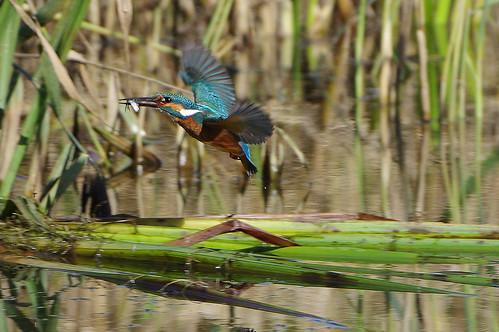 lackfordlakes wild bird wildlife nature kingfisher alcedoatthis flight
