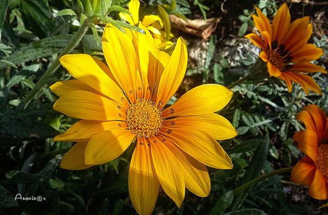 29_Yellow daisy