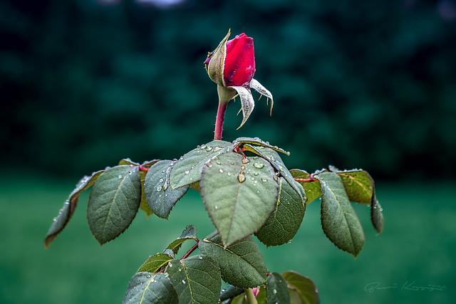 Goncagül (Rosebud)