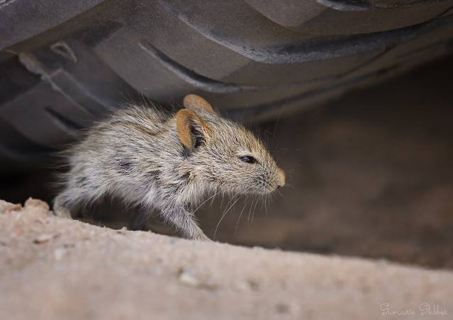 African four-striped grass mouse