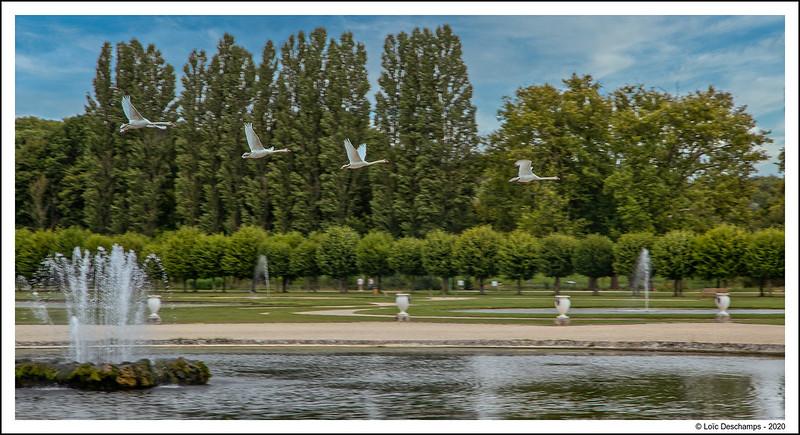 Vol de cygnes dans le jardin de Chantilly