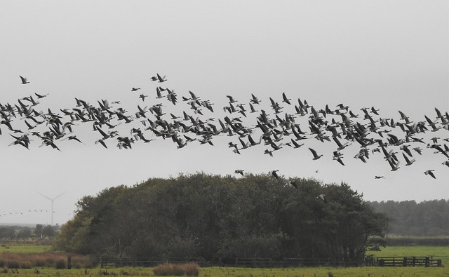 Pink-Footed Geese Over Druridge Ponds Copse