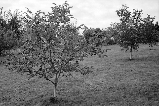 Orzechowy sad / Walnut trees