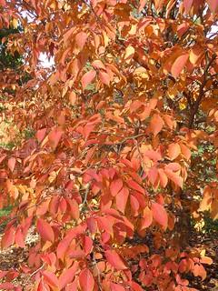 Lisle, IL, Morton Arboretum, Fall Foliage