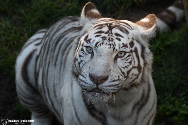 White Tigress - Zoo Amneville - France