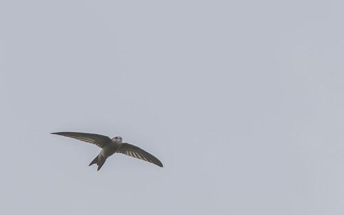 Palid swift - Apus pallidus - Vale gierzwaluw