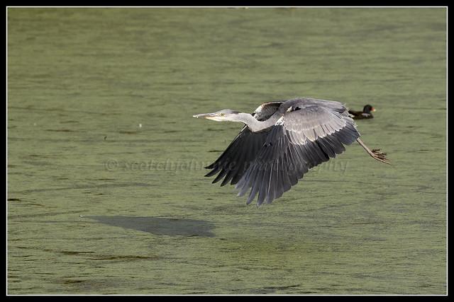 IMG_0003 Grey Heron