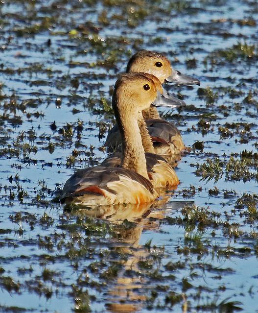 Lesser Whistling Duck (3 in line). Dendrocygna javanica