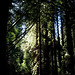 Muir Woods 03