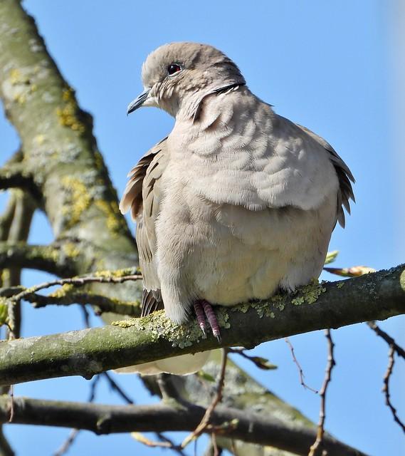 Türkentaube * collared dove [Streptopelia decaocto]