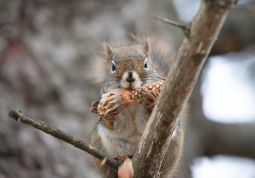 Red Squirrel eating the seeds from a spruce cone