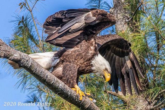 Bald Eagle IMG_5329