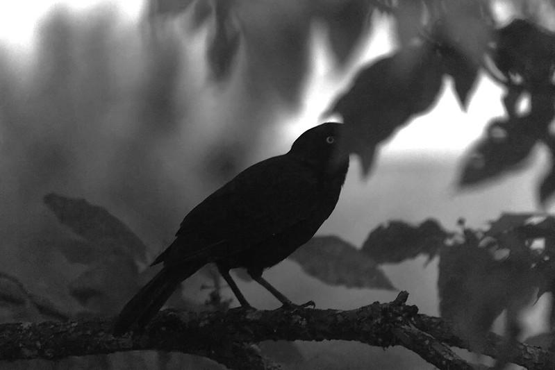 scary black bird
