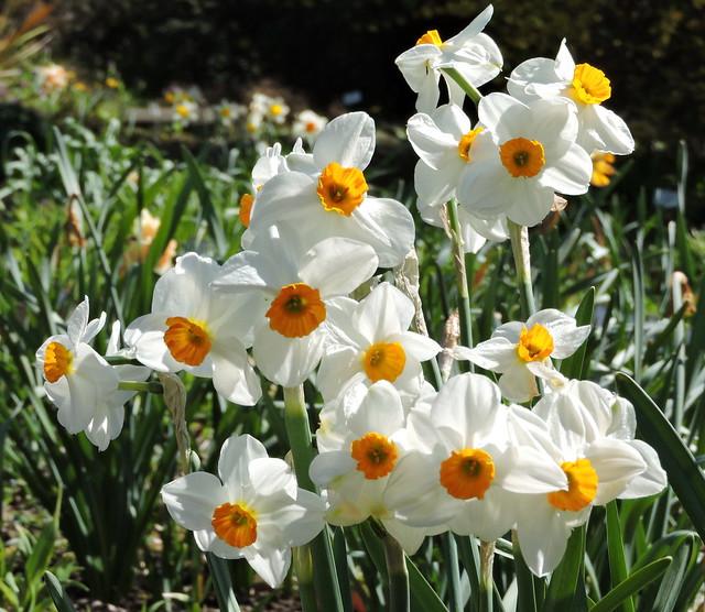 2020-04-23 Narcissus
