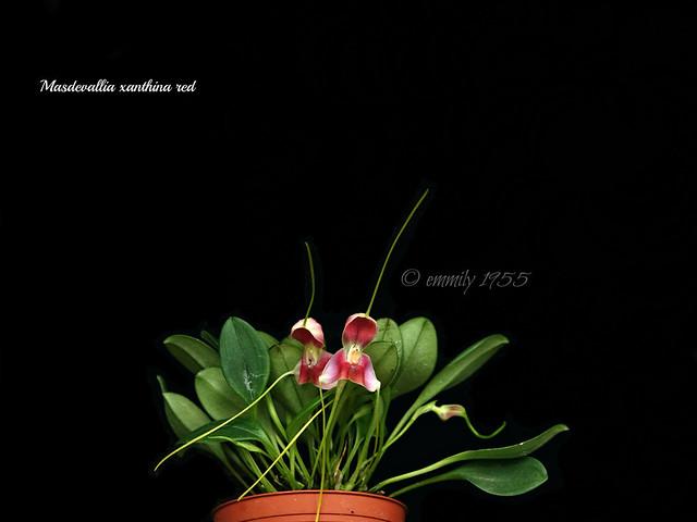 Masdevallia xanthina red