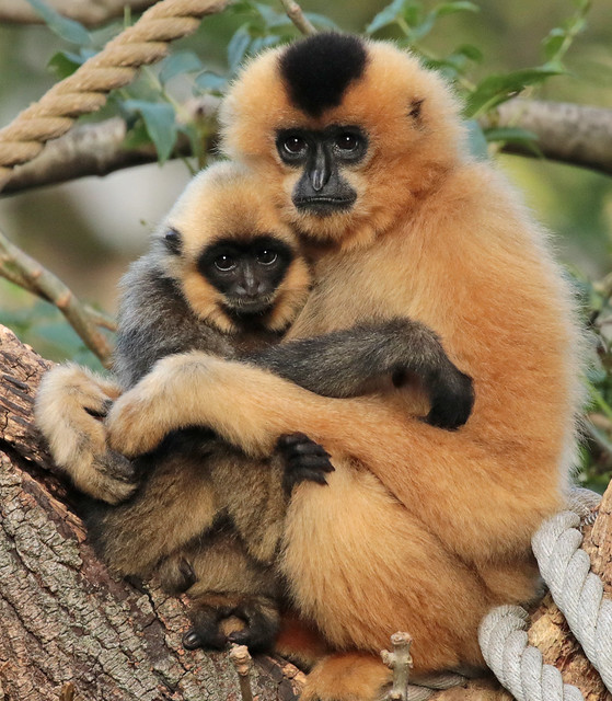 yellowcheeked gibbon Artis 094A0055