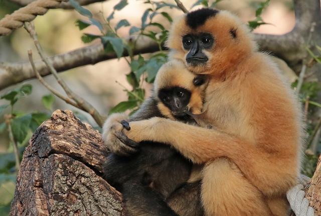 yellowcheeked gibbon Artis 094A0044