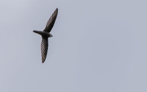 Palid swif - Apus pallidus - Vale gierzwaluw