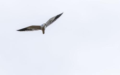 Black-shouldered kite - Elanus caeruleus - Grijze wouw