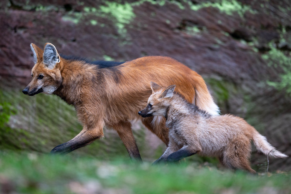 Running Maned Wolves