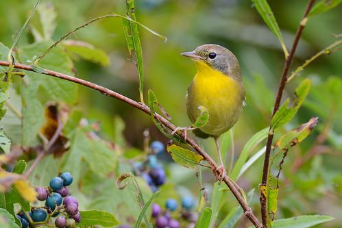 birds nikon nikond7100 tamronsp150600mmf563divc jdawildlife johnny portrait closeup eyecontact warblers warblercommonyellowthroat commonyellowthroatwarbler gorgeous brilliant
