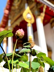Waiting to #bloom... . . #lotus in the sun at a #temple last weekend #bangkok