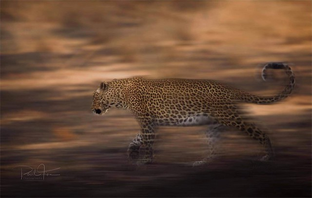 Fluid in motion.... male leopard.. Zambia