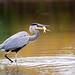 Heron being a heron