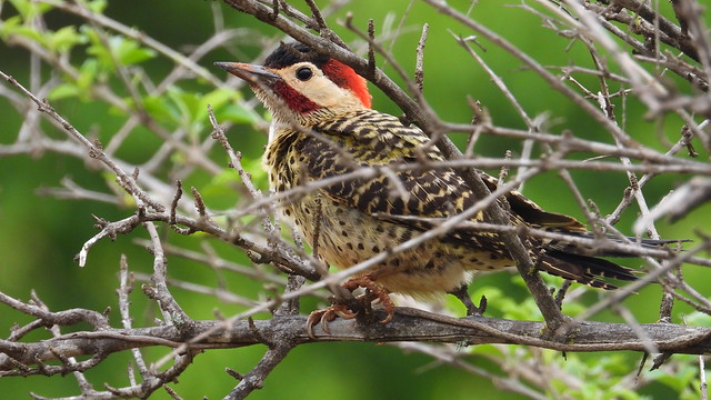 Pica-pau-verde-barrado - Green-barred Woodpecker