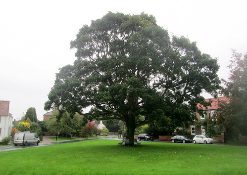 Oak Tree, village green, Aldborough, Yorkshire
