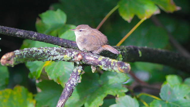 Beautiful little Wren