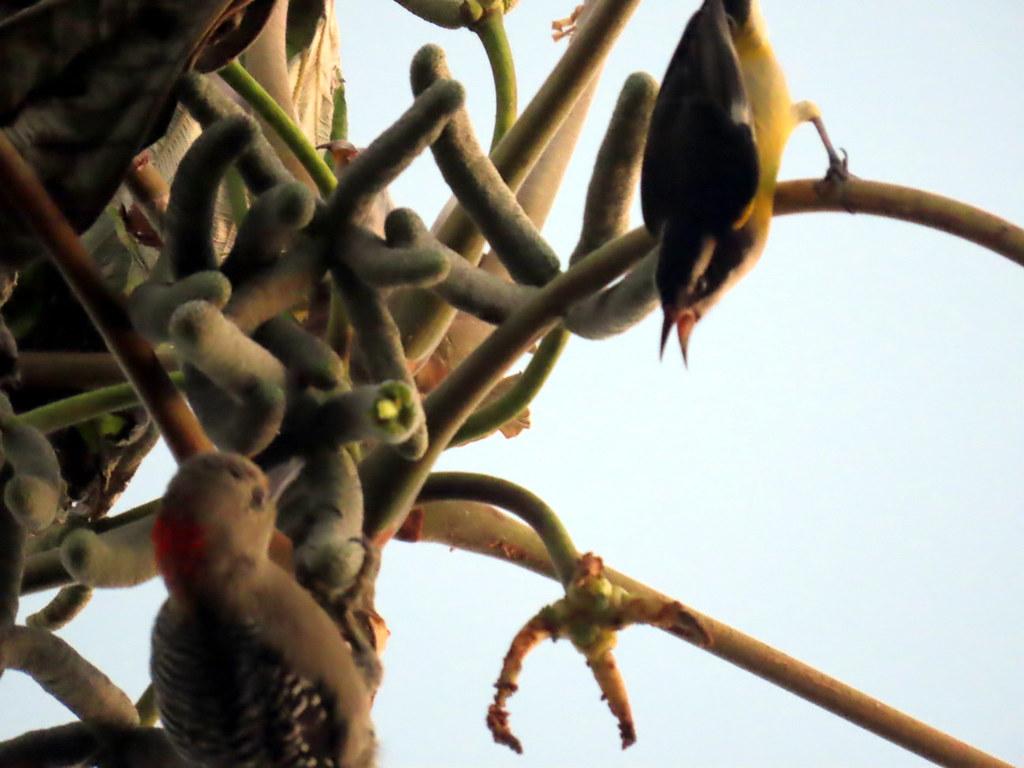 Yucatan Woodpecker, Melanerpes pygmaeus and Bananaquit, Coereba flaveola, facing off in a Cecropia tree.