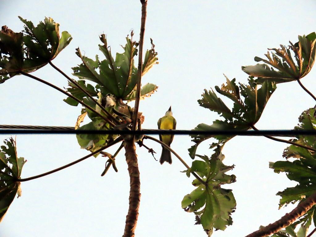 Tropical Kingbird, Tyrannus melancholicus