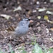 F White-crowned Sparrow DSC_8460