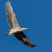 blue_heron_in_flight-20201029-100