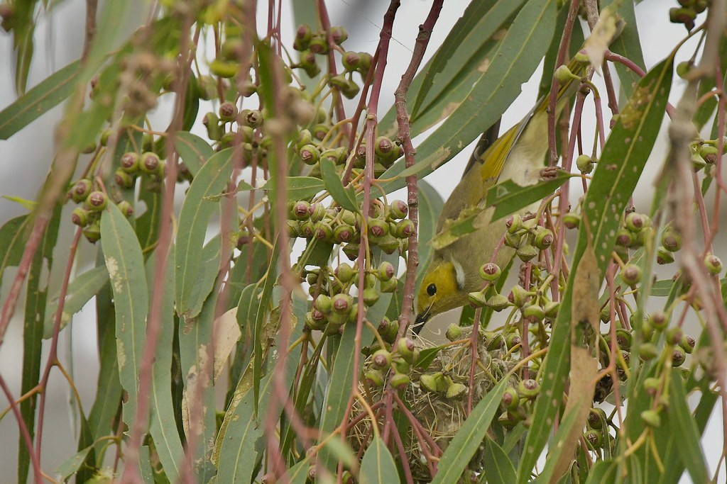 White-plumed Honeyeater ( its looking good )