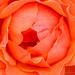 Orange Rose, 4.20.17