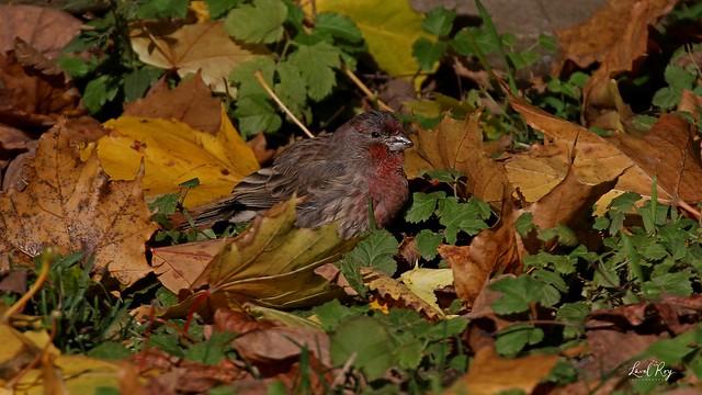 1.30684 Roselin familier (mâle) / Carpodacus mexicanus frontalis / House Finch