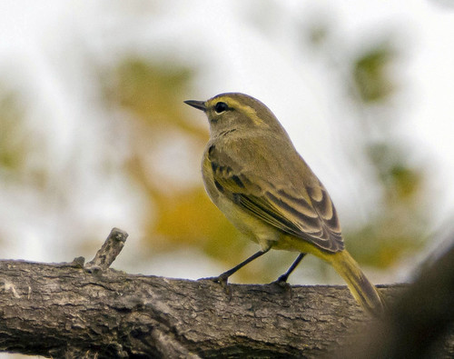 palm warbler, maybe? | by edshawn