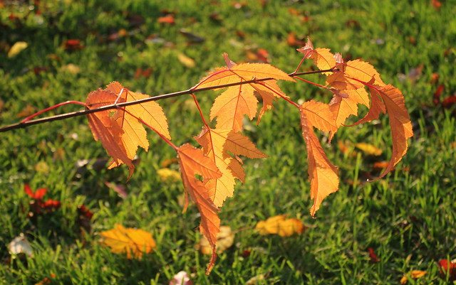 Nature of Moscow, the Colorful Golden Autumn Leaves of the Maple branch (Acer Platanoides, Sapindaceae) in the Central Park of Culture and Leisure