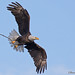 Bald Eagle with stick for the nest