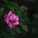 Rose 73