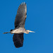 blue_heron_in_flight-20201029-100-2