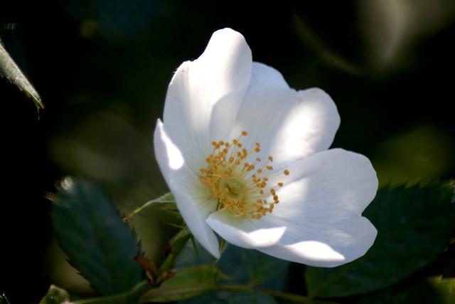 Rosa Pimpinellifolia      Derogy  Apl.  No. 3