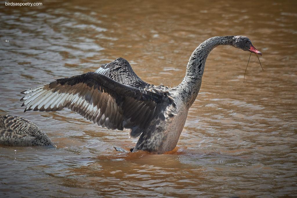 Black Swan: I'm Ready to Fly