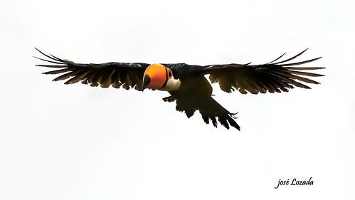 Tucán Toco - habita los bosques húmedos ( hasta el norte Agentino)  y se alimenta de frutos , insectos , reptiles y huevos. Es una hermosa ave siendo su pico lo más llamativo y bonito!! Misiones
